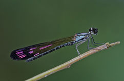 Damselfly in the parks. Small damselfly in the parks Stock Images