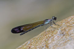 Damselfly in the parks. Small damselfly in the parks Royalty Free Stock Photos