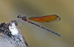 Damselfly in the parks. Small damselfly in the parks Stock Photography