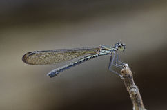 Damselfly in the parks. Small damselfly in the parks Royalty Free Stock Images
