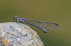 Damselfly in the parks. Small damselfly in the parks Stock Image