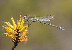 Damselfly on a plant Royalty Free Stock Photography