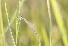 Damselfly on a plant straw Royalty Free Stock Photography