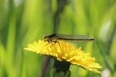 Damselfly with pollen. Damselfly pollen dandelion insect flower yellow nature spring funny royalty free stock photo