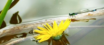 Damselfly in pond Stock Photography