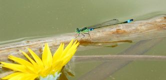 Damselfly in pond Royalty Free Stock Photography