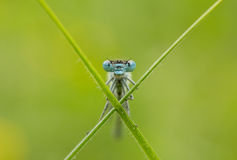 Damselfly - portrait Photo stock