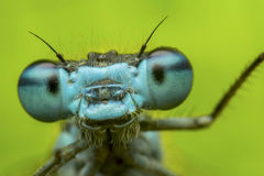 Damselfly - portrait Image stock