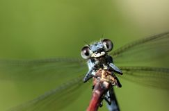 Free Damselfly Portrait In Green Background Royalty Free Stock Photo - 156866385
