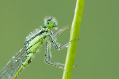Damselfly portrait Stock Photos