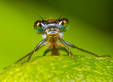 Damselfly portrait. A picture of a Damselfly on leaf. Taken in free Nature stock photo