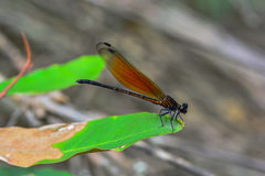Damselfly is a predator in nature Stock Images