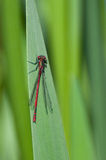 Damselfly, Red Stock Photography