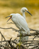 Yawn. Snowy Egret yawns at the end of a great day Royalty Free Stock Photos