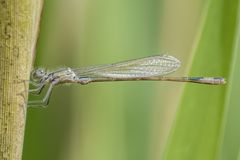 A damselfly on a reed Royalty Free Stock Photo