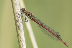 A damselfly on a reed Stock Photos