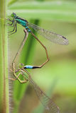 Damselfly reproduction Royalty Free Stock Photo
