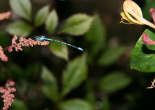 Damselfly resting. On a flower stock photos