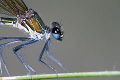 Damselfly resting on branch; particular Stock Photography