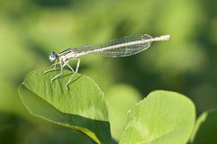 Damselfly resting on a clover Royalty Free Stock Photos