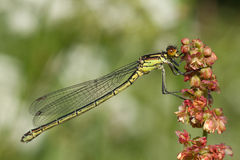 Damselfly resting on a flower Stock Image