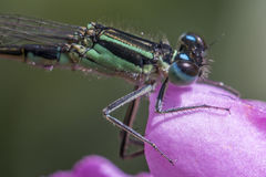 Damselfly resting in Zen garden stock images