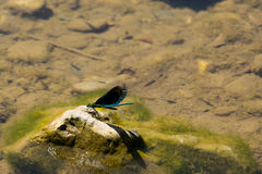 Damselfly. On a rock in the river Stock Photos