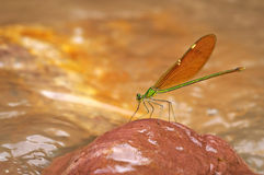 Damselfly on the rock Royalty Free Stock Photos
