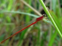 Damselfly rouge photographie stock libre de droits