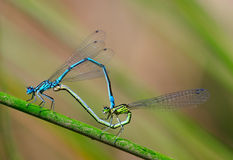 Damselfly sex Stock Image