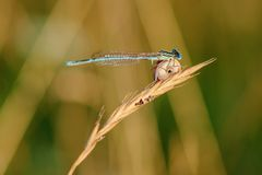 Damselfly sitting on dry grass with a small snail Royalty Free Stock Photos