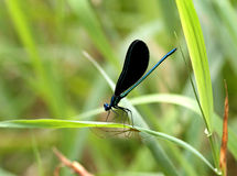 Damselfly and spider. A black-winged damselfly and spider share opposite sides of a leaf Stock Photography