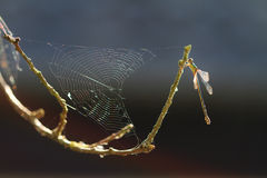 Damselfly spiderweb Stock Photos