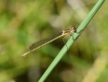 Damselfly spreadwing comune della femmina di sponsa di Lestes fotografia stock