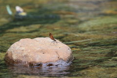 Damselfly on the stone in japanese stream Stock Image