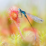 Damselfly stuck in Sundew. A common blue damselfly stuck in a sundew plant Royalty Free Stock Photo