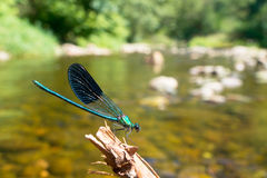 Damselfly sur une brindille Images stock