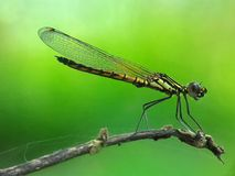 Damselfly. Taken with my mobilephone with modified macro lens Royalty Free Stock Photos