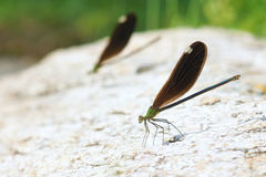Damselfly. Two female damselfly stand on ground. Scientific name: Matrona cyanoptera Royalty Free Stock Photo