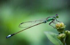 Damselfly under the rain Royalty Free Stock Image