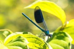 Damselfly Vasto-alato, libellula fotografie stock