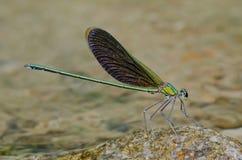Damselfly verde dell'ala Fotografia Stock Libera da Diritti