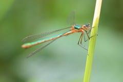 Damselfly vert (sponsa de Lestes) Photo libre de droits