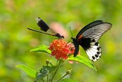 Damselfly vijandig aan vlinder Royalty-vrije Stock Fotografie
