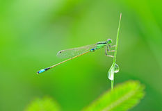 Damselfly with waterdrop. Small green damselfly with waterdrop stock photography