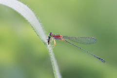 Damselfly were eating Royalty Free Stock Image
