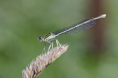 Damselfly. White-legged damselfly Platycnemis pennipes on bent. Close up Stock Photos
