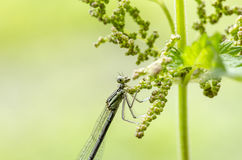 Damselfly. White-legged damselfly Platycnemis pennipes on neetle at early morning. Close up Royalty Free Stock Image