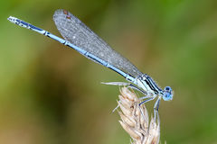 Damselfly. White-legged damselfly Platycnemis pennipes. Profile Stock Photography