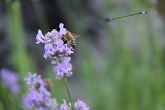 Damselfly y abeja Imagenes de archivo
